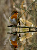 Robin with reflection.