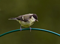 Great Tit (Juvenile)