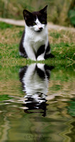 Cute Kitten with reflection