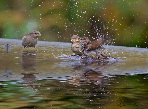 Sparrows Bathing
